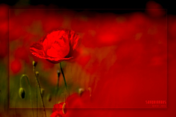 macul rosu in campul rosu